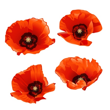 poppy field: Set of red poppies isolated on white background. Vector illustration Illustration