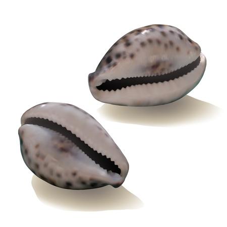 oceanic: Seashells isolated on white background. Vector illustration