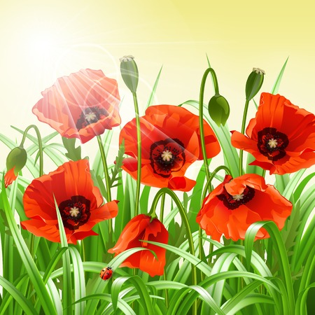 Red poppies in grass   Vector illustration Vector