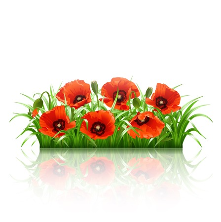flourishing: Red poppies in grass isolated on white  Vector illustration