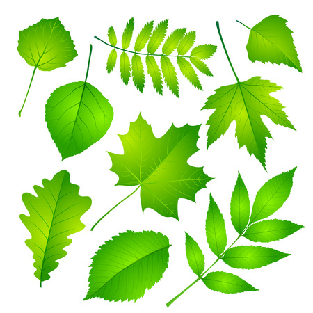 Collection of green leaves. Vector illustration