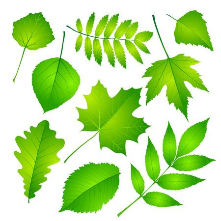 Raccolta di foglie verdi. Illustrazione vettoriale