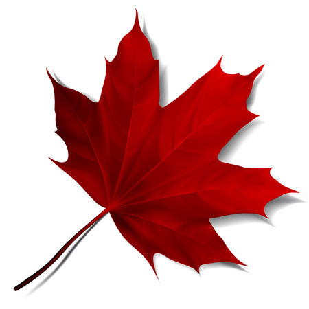 Realistic red maple leaf isolated on white background.