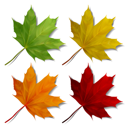 Set of Realistic maple leaves isolated on white background.