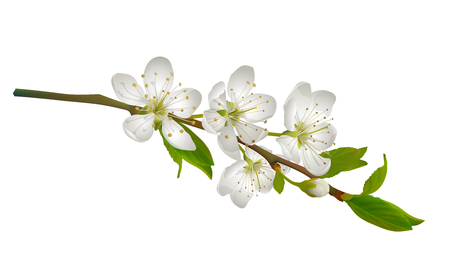 cherry branch: Blossoming cherry branch with white flowers. Realistic illustration Illustration