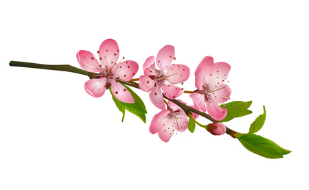 Cherry blossom, sakura flowers isolated on white background. Realistic illustration