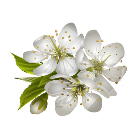 Beautiful tender cherry flowers vector illustration