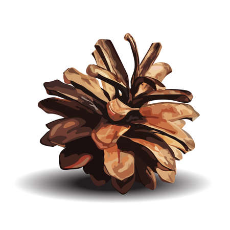 Brown pine cone. Vector illustration isolated on white 向量圖像