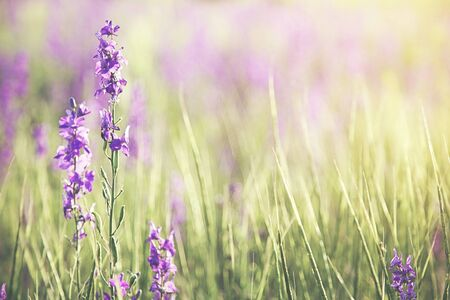 beautiful lavender purple flowers in field Stock Photo