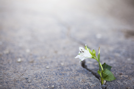 beautiful white flower growing on crack street