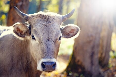 cow in nature in sun