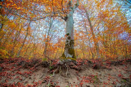 colorful tree in the autumn forest background Stock Photo - 138476170