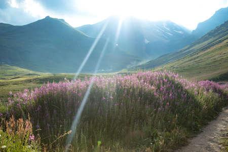 beautiful purple flowers landscape on the mountains