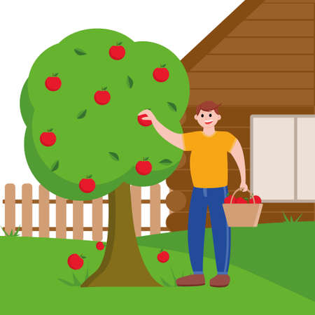A man collects apples from a tree and puts them in a basket. Picking apples at your site. Harvesting near his home.  イラスト・ベクター素材