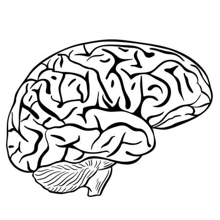 Human brain, sketch. Vector, black contour of the human brain on a white background. The main organ of thinking. Brain silhouette.