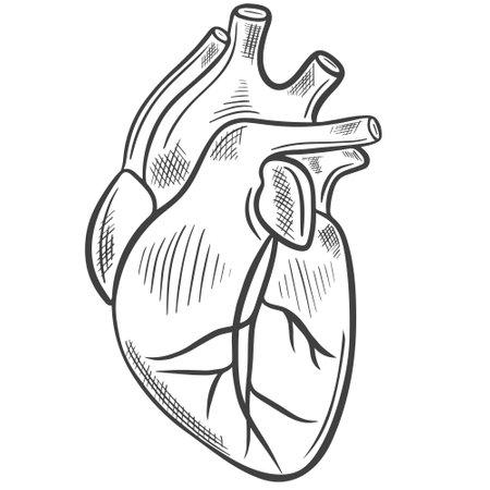Human heart, freehand sketch. Vector The main human organ. Medical drawing. Vector Illustration