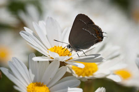 butterfly sitting on daisies (chamomile flowers) in the nature, close-up, horizontal orientation