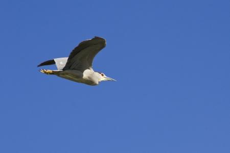 ardeidae: Squacco Heron  Ardeola ralloides  Stock Photo