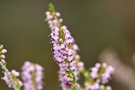 erica: Erica manipuliflora or autumn heather is a common phrygana bush flowering in late summer and autumn, Crete