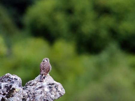 falconidae: A fledgling Common Kestrel -Falco tinnunculus, Grammos Mt, NW Greece