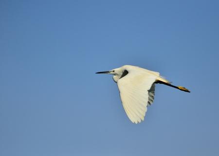 ardeidae: A Little Egret - Egretta garzetta, Crete Stock Photo