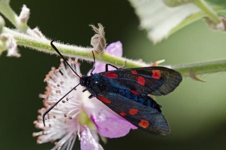 zygaena: Narrow-Bordered Five-Spot Burnet Zygaena lonicerae, Greece