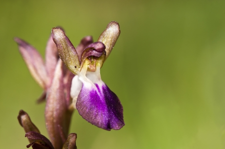 collina: Orchis collina, Greece