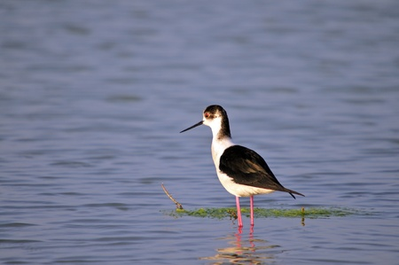 Black-winged Stilt - Himantopus himantopus at the shore of Agia lake, Crete, Greece Stock Photo