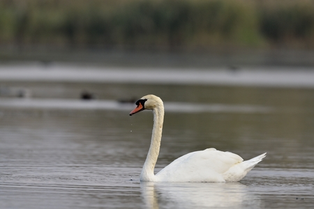 Mute Swan - Cygnus olor, Crete Stock Photo