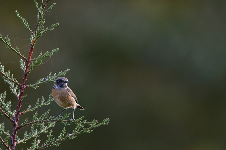 Common Stonechat (Saxicola rubicola), Crete, Greece