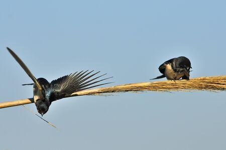 Barn Swallow (Hirundo rustica), Greece