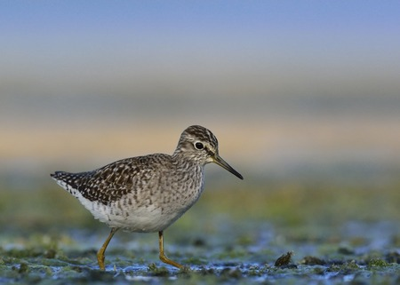 Wood Sandpiper (Tringa glareola), Crete, Greece Stock Photo - 90834014