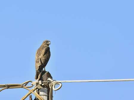 A Common Buzzard - Buteo buteo on Crete, Greece