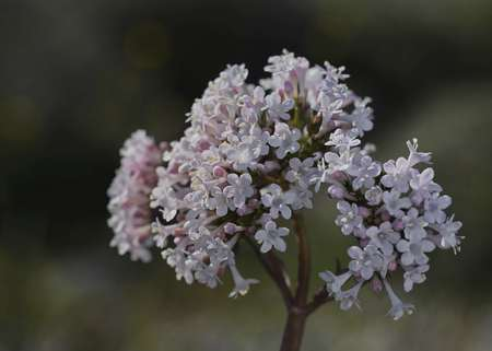 Valeriana asarifolia, Crete Stock Photo