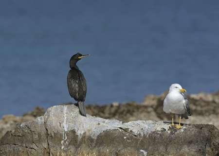 Yellow-legged Gull (Larus michahellis) and Shag (Phalacrocorax aristotelis), Greece