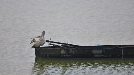 Dalmatian Pelican (Pelecanus crispus) Banco de Imagens