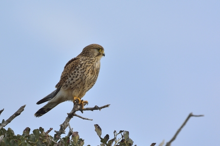 Common Kestrel (Falco tinnunculus), Greece