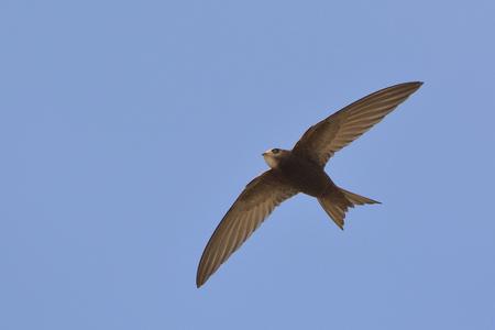 Apus apus (Swift commun, Swift européen, Swift), Grèce Banque d'images - 104397349