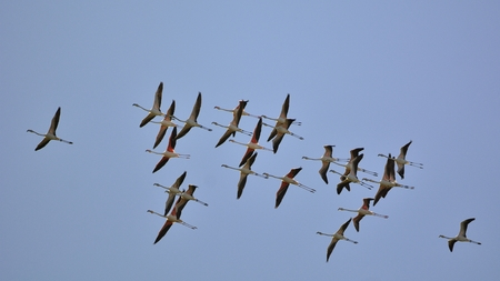 Greater Flamingo (Phoenicopterus roseus), Greece