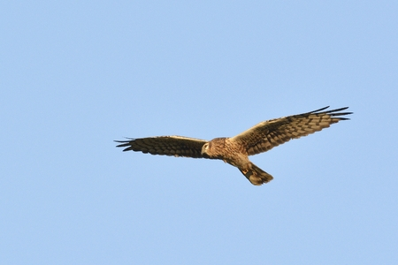 Pallid Harrier (Circus macrourus), Crete