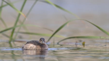 Little Grebe (Tachybaptus ruficollis), Crete Stock Photo