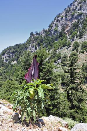 Dracunculus vulgaris, commonly called dragon arum, Crete Stock Photo