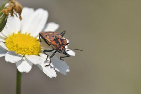 Spilostethus pandurus (soldier bug) is a species of