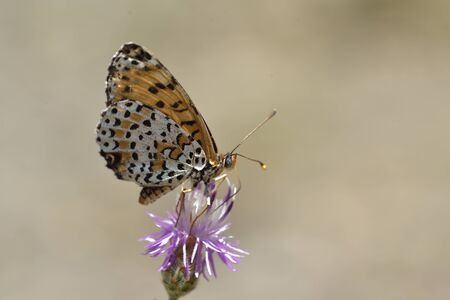 Melitaea didyma, the spotted fritillary or red-band fritillary, is a butterfly of the family Nymphalidae, Greece