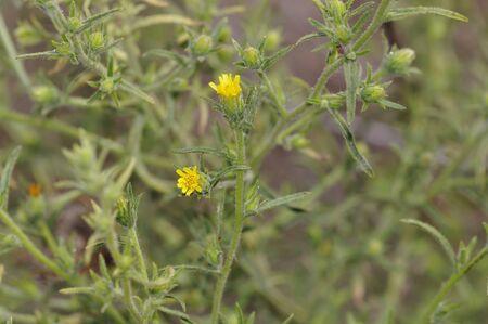 Dittrichia graveolens, commonly known as stinkwort or stinking fleabane, Crete