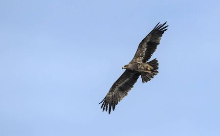 Steppe eagle (Aquila nipalensis), Crete