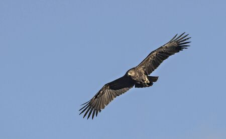 Greater Spotted Eagle (Clanga clanga), Crete