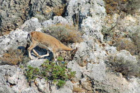 A female Cretan wild goat (Capra aegagrus cretica), Crete Stock Photo