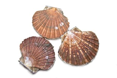 Closeup of a  seashells (sea shells), scallop over white  background Stock Photo