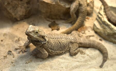 A agamid  lizard crawling on sand. A Bearded Dragon (Pogona vitticeps). Shallow DOF Stock Photo